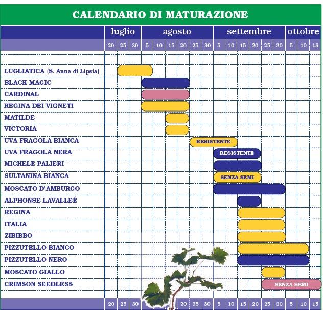 Calendario maturazione uva da tavola tradizionale e resistente - Coltivare uva da tavola in vaso ...