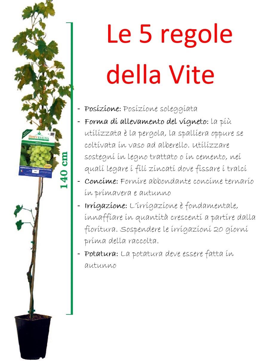 Le regole per coltivare la vite con successo - Coltivare uva da tavola in vaso ...