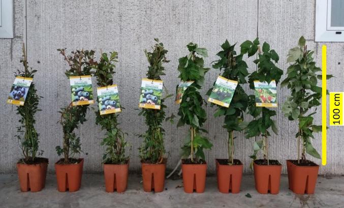 Piante Di Frutti Di Bosco : Frutti di bosco foto piante professionali