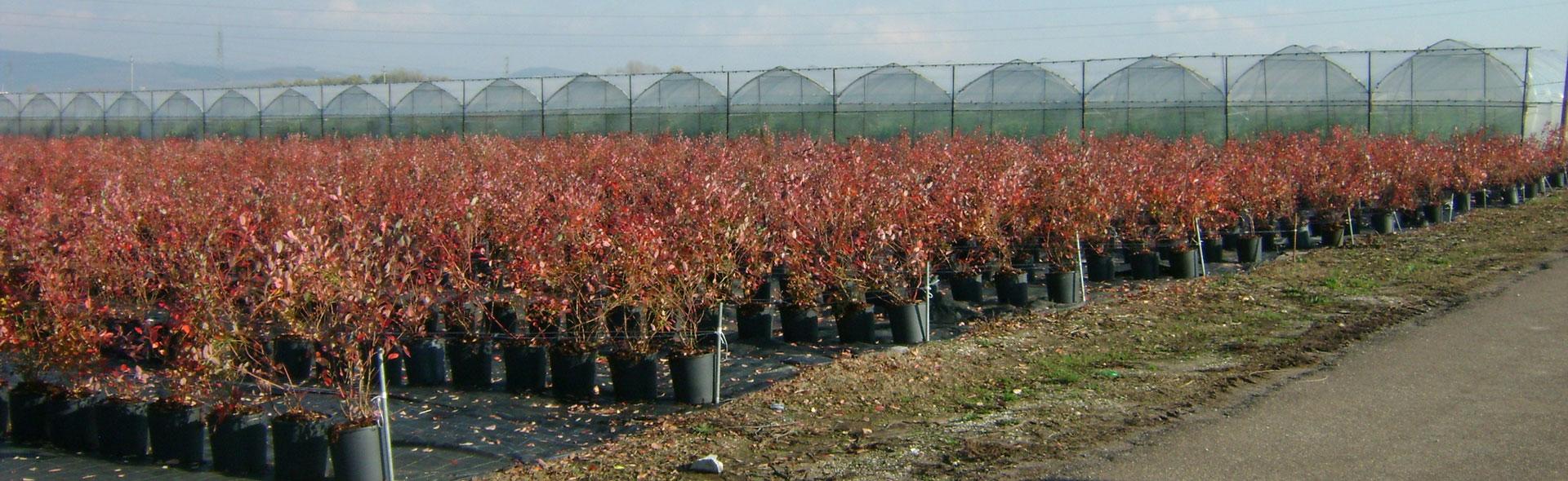 Coltivare Lamponi In Vaso fragole e fragoline di bosco:consigli di coltivazione - www