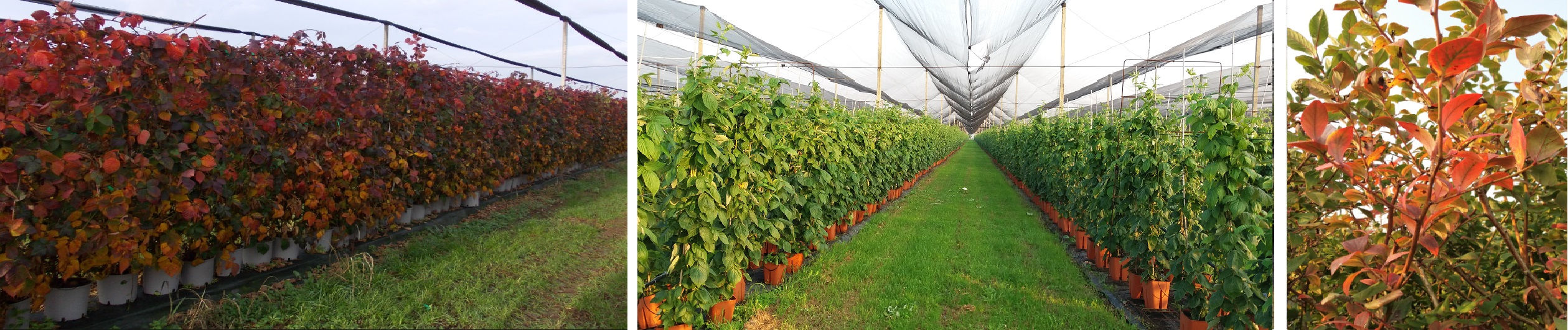 piante-frutti-di-bosco-vivaio-berryverona
