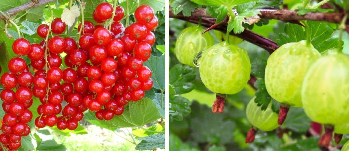 Ribes e uva spina - Coltivare uva da tavola in vaso ...