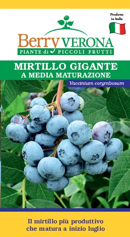 Mirtillo top hat vaccinium corymbosum berry verona - Coltivare uva da tavola in vaso ...
