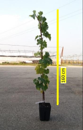 Frutti di bosco foto piante professionali www for Piante da uva in vaso
